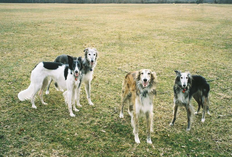 Barb Kahn's Silken Windhounds