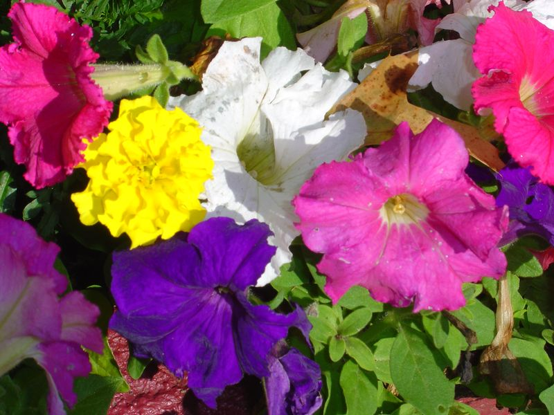 Front Yard Flowers - August 2008 029