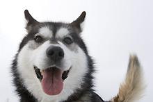 Sled-dog-cp-3917435